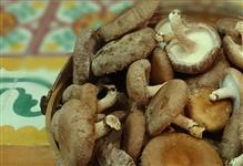 Cogumelos Shiitake produzidos no Rio de Janeiro