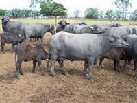 Fazenda estruturada pecuária e criação de Búfalas