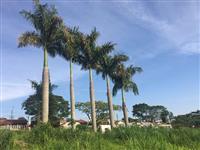 Palmeira Imperial 15m aproximadamente cada uma