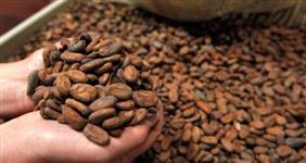 Amêndoa de Cacau (caroço, semente) Saco de 60 Kg