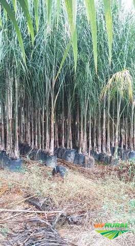 Mudas de árvores e palmeiras adultas.