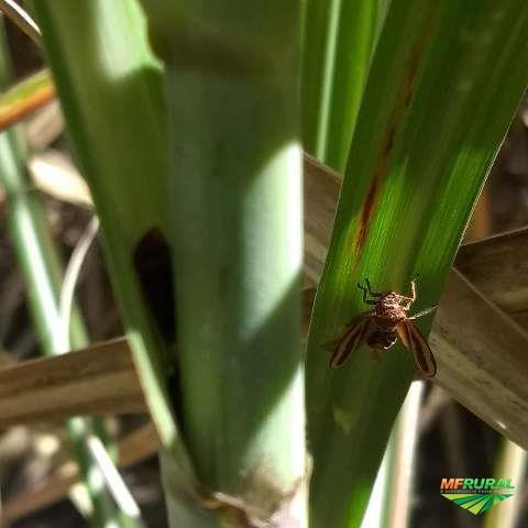 METARHIZIUM OLIGOS - Defensivo Agrícola Biológico
