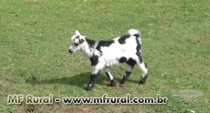 Casal de mini cabras