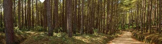 Terreno 103 Hectares com 60 mil pés de Pinus
