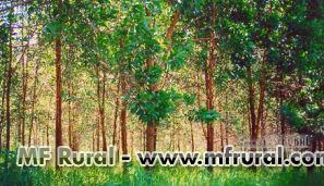 Acacia com 3 anos de plantio total de 4500 arvores cidade de piedade sp Regiao de sorocaba interior