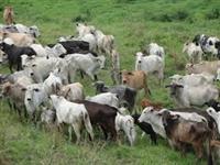 500 vacas nelores de 36 meses a venda oportunidade