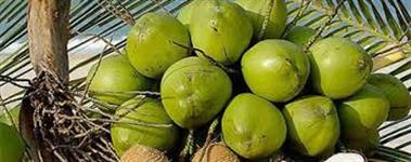 Fibra de Coco Verde