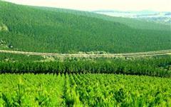 Venda de Toras de Pinus, toras de Eucalipto, lenha pinus e lenha eucalipto.
