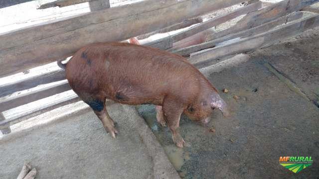 Vende se porcos para abate e recriar.
