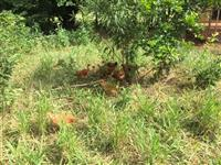 Vendo frangos caipiras vivos ou abatidos
