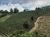 FAZENDA DE CAFÉ - 130 hectares - CÓRREGO DANTA (MG)
