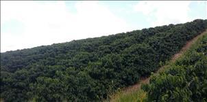 FAZENDA CAFÉ - 114 hectares - PIUMHI (MG)
