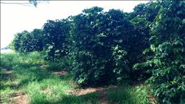 FAZENDA DE CAFÉ A VENDA - 89,54 hectares - MUZAMBINHO (MG)