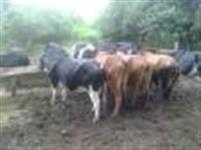 vacas leiteiras mojando lote com 10