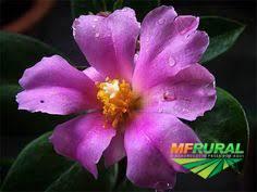 Ora Pro Nobis Pereskia Grandifolia ( flor rosa )
