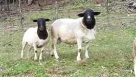 Ovinos (carneiros) Dorper PO