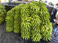 banana prata catarina
