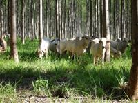 Fazenda de eucalipto para colocação de gado - Região Vale do Paraíba