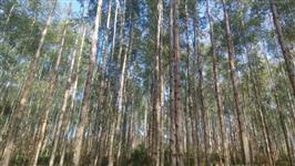 Fazenda de eucalipto pronta para corte de Torete