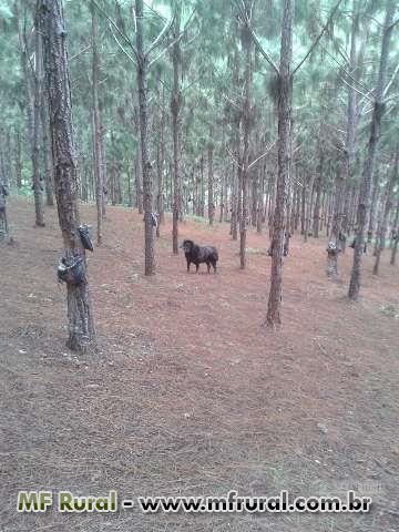 Venda de fazenda produtiva - Pinus Elliotti