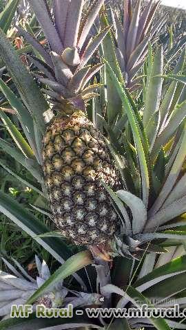 Abacaxi perola dá paraiba