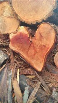Toras de Eucalipto / Pinus