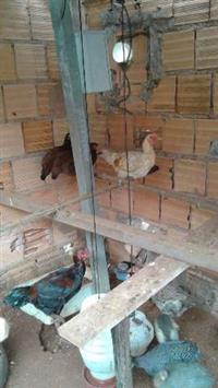 vendo galinhas caipiras e garnizer