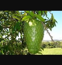 Graviola (fruta ou polpa)