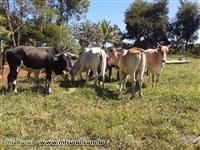 LOTE 10 unidades gado de Qualidade Corte/Leite