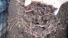 100 minhocas californianas compostagem Sedex incluso estado SP