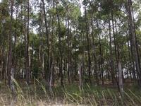 Fazenda de eucaliptos