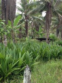 Mudas de coco de itacaré anão gigante