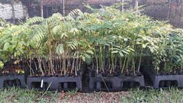 Mudas de Árvores Nativas - Tubetes 55 cm³ e 290 cm³