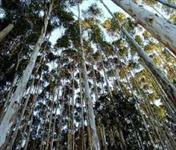 Procuro floresta de eucalipto Citriodora