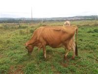 Vacas Jersey em lactação