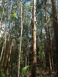 Pinus e Eucalipto em pé