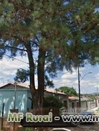 Vendo Árvore  de Pinnus Elliotti