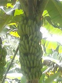Bananas nanicas direto do produtor.