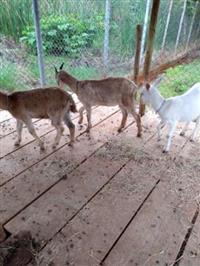 Filhas de Cabras leiteiras