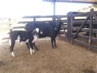 Vaca girolanda com bezerra