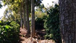 Vendo Toras de Cedro Australiano 9 anos