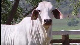 Novilha Brahman PO