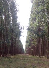 Briquete de Eucalipto Lenha Ecológica