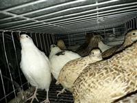 Ovos de Codornas  gigantes várias raças.