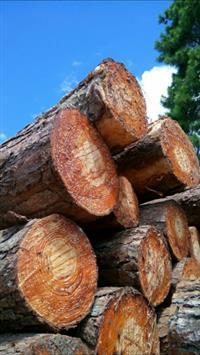Madeira Pinus Elliotti para Exportação