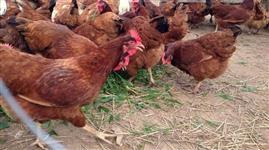 Ovos de Galinha Caipira orgânicos
