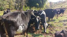 Vacas Girolandas 3/4