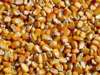 Interesse na compra de milho GRANEL e SACAS de preferência dentro do estado do Ceará.