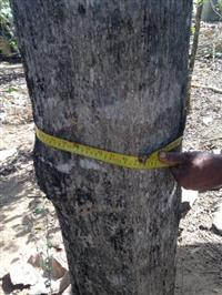 Árvores Teca