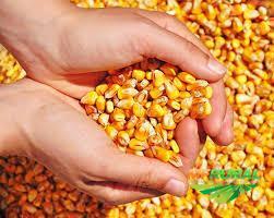 Compro milho - Arari MA